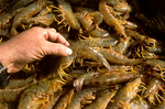 Freshly-harvested shrimp; San Carlos, Baja California Sur, Mexico