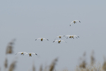 Snow geese landing at Fort Boise Wildlife Management Area in southwest Idaho