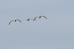 Snow geese landing at Fort Boise Wildlife Management Area in southwest ID