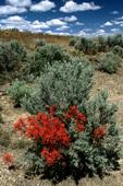 Indian paintbrush (Castilleja sp.) growing in a symbiotic relationship with big sagebrush (Artemisia tridentata) in the newly-enacted Big Jacks Creek Wilderness, Owyhee Co., ID