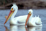 American white pelicans on pond near Snake River in SW Idaho