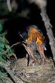 American robin (Turdus migratorius) feeding young in nest