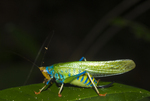 Rainbow katydid (Vestria sp.) in the Amazon rainforest in Loreto Peru