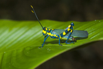 Painted grasshopper (Chromaeris sp.) in the Amazon rainforest in Loreto Peru