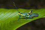 Painted grasshopper (Chromaeris sp.) in the Amazon rainforest in Loreto Peru