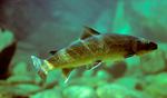 Bull trout (Salvelinus confluentus) in artificial stream