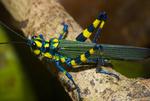Painted grasshopper (Chromacris sp.) in the Peruvian Amazon rain forest