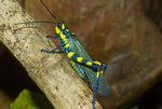 Painted grasshopper (Chromacris sp.) in the Peruvian Amazon rain forest