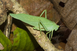 Green katydid (Steirodon sp.) in the Amazon rain forest in Loreto Peru