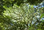 Killer fig (Ficus luschnathiana) in Santa Teresa National Park in Rocha Uruguay