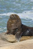 Bull southern sea lion (Otaria flavescens) at Cabo Polonio in Rocha Uruguay