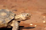 Endangered desert tortoise (Gopherus agassizii) in Red Cliffs Desert Reserve near St. George Utah