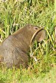 Capybara in wetland in Santa Teresa National Park in Rocha Uruguay