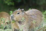Capybara feeding in wetland in Santa Teresa National Park in Rocha Uruguay