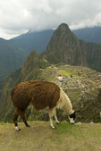 Llama grazing at Machu Piccu ruins in the Peruvian Andes