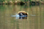Brown bear blowing bubbles in beaver pond