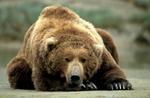 Brown bear resting on tidal flat