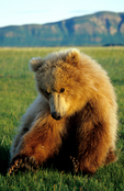 Two-year old brown bear cub