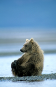Bear cub sitting on tidal flat