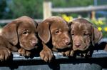 Chocolate Labrador retriever puppies in wheelbarrow