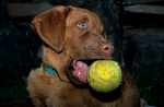 Chesapeake Bay retriever puppy with tennis ball