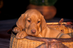 Yellow Labrador retriever puppy in fishing creel