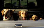 Family of Yellow Labrador retrievers in pickup truck