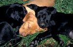 Black and yellow Labrador retriever puppies sleeping