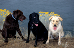 Black, yellow, and chocolate Labrador retrievers