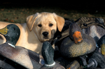 Yellow Labrador puppy in duck decoys