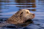 Chesapeake Bay retriever swimming