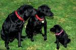 Black Labrador retriever family