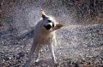 Yellow Labrador retriever shaking off water