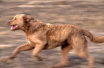 Chesapeake Bay retriever running