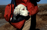 English setter puppy in game vest