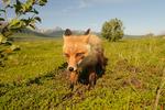 Red fox pup (Vulpes vulpes) at Becharof National Wildlife Refuge Alaska