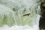 Chinook salmon jumping Dagger Falls on the Middle Fork of the Salmon River