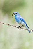 Male mountain bluebird (Sialia currucoides) with insect to feed young