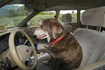 Chocolate Labrador retriever in car in driver's seat