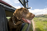 Chocolate Labrador retriever in car in Boulder Mountains in Idaho