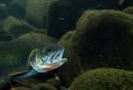 Westslope cutthroat trout (Oncorhynchus clarki lewisi)