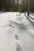 Wolf Tracks in snow near Redfish Lake, Sawtooth National Recreation Area, ID (2008)