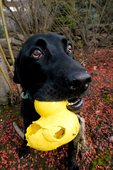 Black Labrador retriever with toy duck