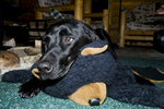 Black Labrador retriever laying on toy bear rug