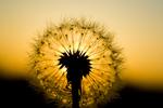 Dandelion (Taraxacum officinale) at sunset