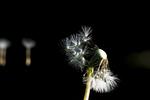 Wind blowing seeds off of dandelion seedhead (Taraxacum officinale)