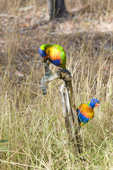 Rainbow lorikeets on water faucet in Undara National Park in Queensland Australia.  One lorikeet is apparently trying to turn on the faucet for a drink for it and its partner.