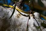 Green tree snake (Dendrelaphis punctulata) in Undara National Park in Queensland Australia