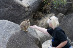 Tourist feeding Mareeba undadorned rock wallaby at Granite Gorge in north Queensland Australia