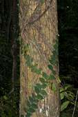 Thick-leaved Raphidophora vine in the Daintree Rainforest in northern Queensland Australia